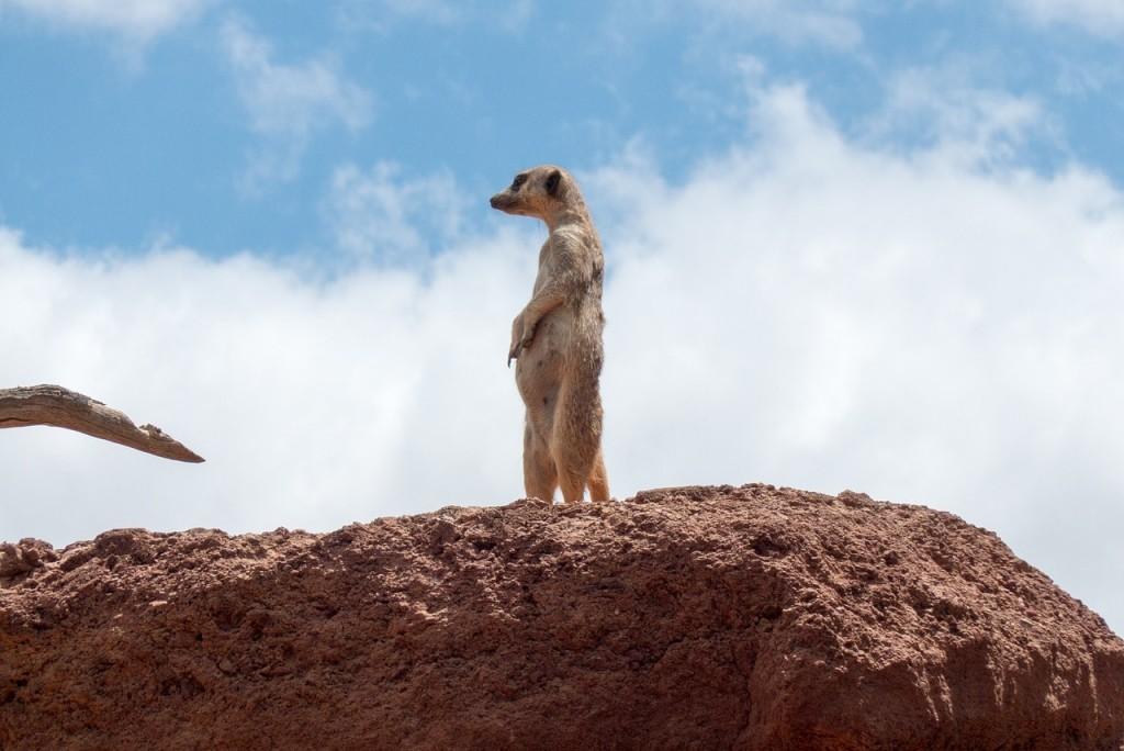 meerkat-attention-min